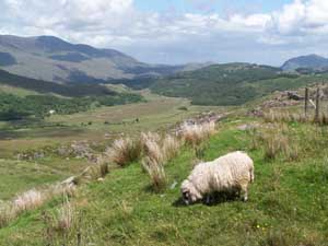 Sheep - Ring of Kerry