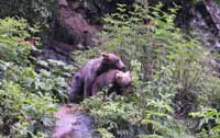 Mating Grizzlies